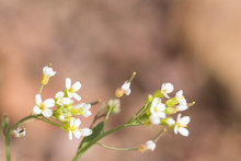 Spring White Flowers In A Soft Background