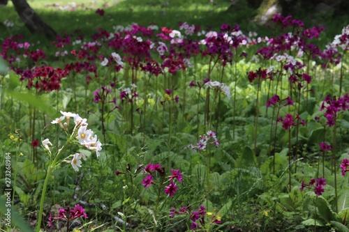 Cadres-photo bureau Jardin クリンソウの季節