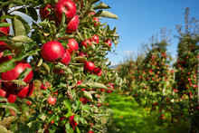 Picture Of A Ripe Apples In Or...