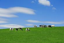 牛と青空背景テクスチ...