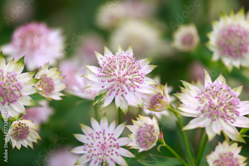 Photo Blooming Astrantia major Rosa Lee masterwort in summer garden.