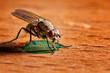 canvas print picture - Großaufnahme einer Fliege die an einem Farbtropfen schleckt