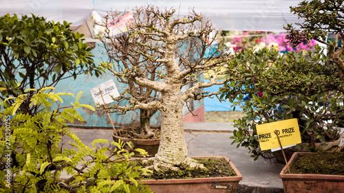 Junipers Or Juniperus Bonsai For Display In A Flower Pot A