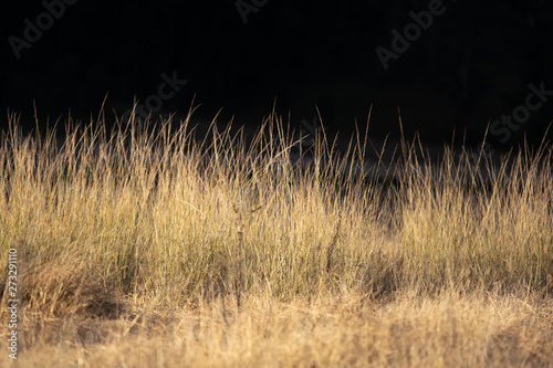 Fotografiet  High grass illuminated by the last sun rays just before sunset in Wolgan Valley, Blue Mountains, Australia