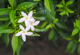 White sampaguita jasmine blooming with bud inflorescence and green leaves top view in nature garden background