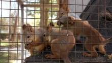 Close-up Red Squirell (Sciurus Vulgaris) Eating In The Cage