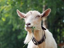 Beautiful White Goat Eating Grass. Portrait Of Farm Animal