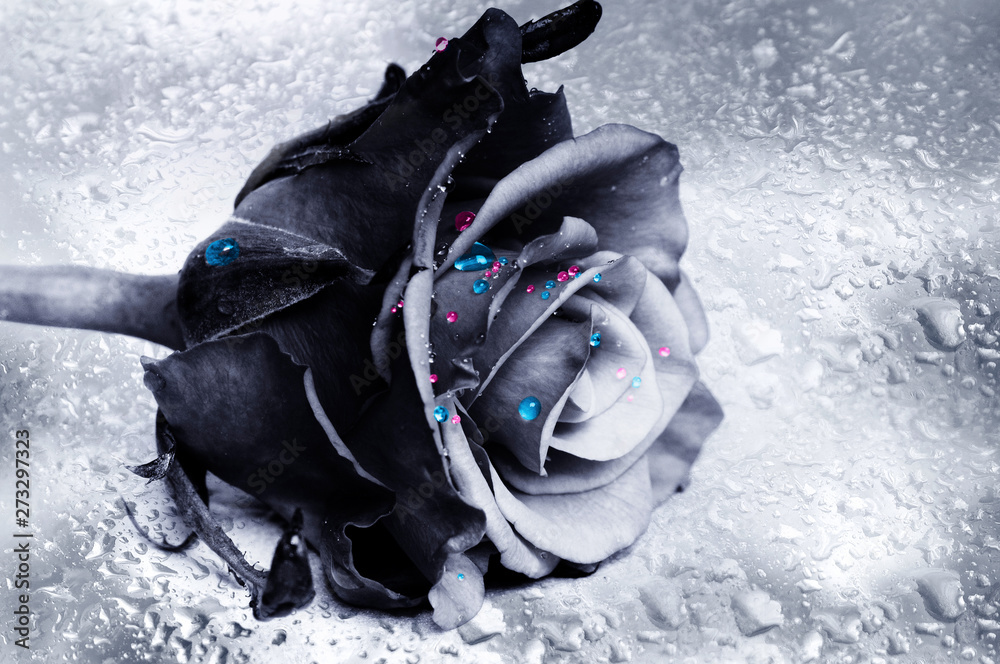 Fototapeta artistic black rose with colorful pink and blue drops of water like art concept