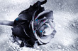 artistic black rose with colorful pink and blue drops of water like art concept