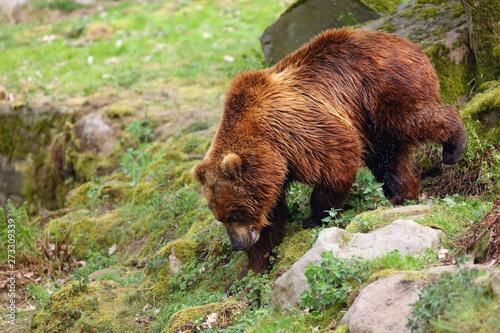 The mainland grizzly (Ursus arctos horribilis) portait of the big female bear Wallpaper Mural
