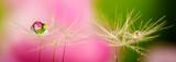 Fototapeta Kwiaty - dandelion seed with water drop - macro photo
