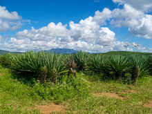 Agave Plant In Tanzania, Africa