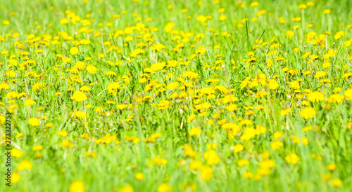 Poster Jaune Beautiful, elegant background of yellow dandelion flowers. Bright summer landscape. Natural texture. Spring abstraction. Copy space. Close up. Free space for text.