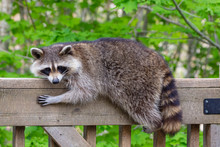 Close Up Of A Female Raccoon R...