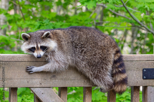 fototapeta na lodówkę Close up of a female raccoon resting on the railing of a wooden deck against a green background.