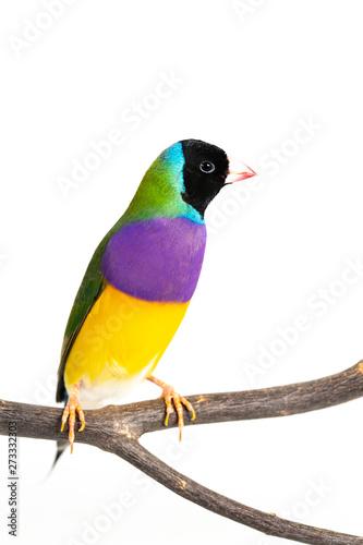 Foto op Plexiglas Vogel Gouldian finch Bird
