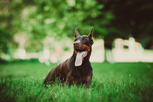 Doberman Posing In A City Park...