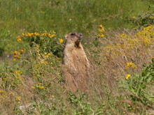 The Bobak Marmot (Marmota Bobak) Is A Large Rodent, FamilySciuridae. He Lives In The Steppes Of Eurasia, In Burrows. A Very Rare Species.