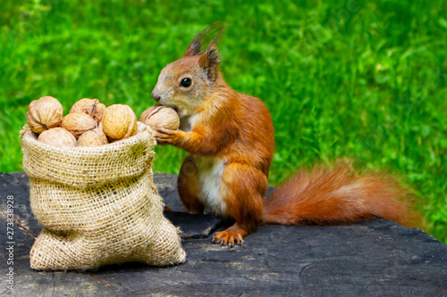 Fotomural  Squirrel eats nuts in the park