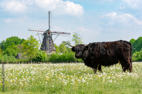 Aluminium Prints Grocery Countryside landscape with black scottish cow, pasture with wild flowers and traditional Dutch wind mill