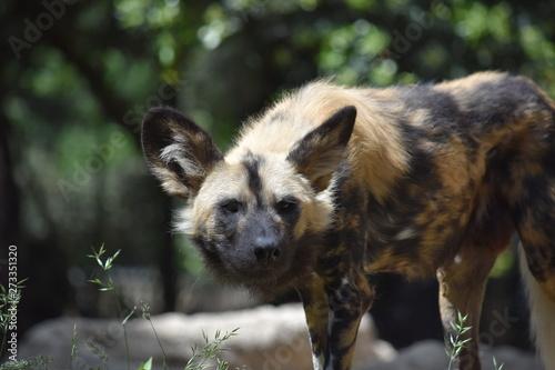 Photo sur Toile Hyène hyène