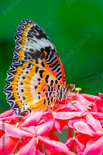 """""""Red-lacewing on Pink Perch"""""""
