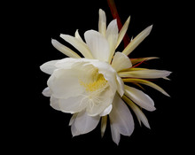 Night-blooming Cereus, Princess Of The Night Flower