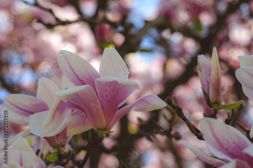 Photo  Tulip Magnolia tree blossoming in spring