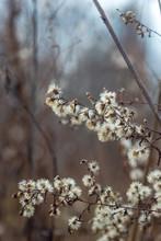 Dried New England Aster Flowers In A Savanna Prairie Field In Winter
