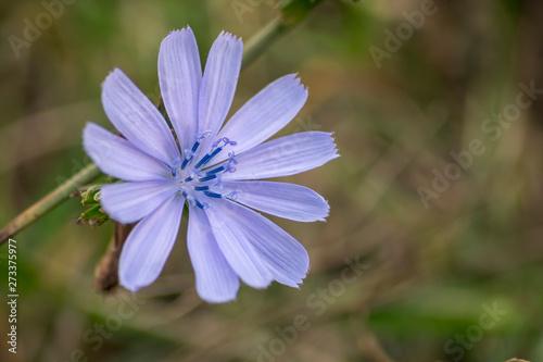 Fototapeta blue flower in the garden obraz na płótnie