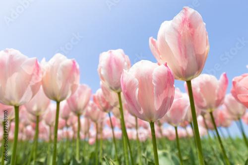 Fototapeta  ピンクのチューリップ