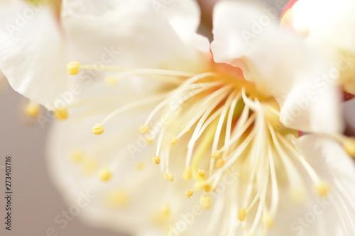 Fotografie, Obraz  梅の花