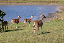 Three Deer Waking Towards Water