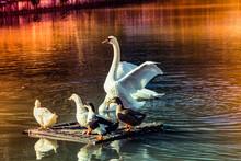 Beautiful White Swan Swimming ...