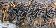Mass Antelopes At Watering Hol...