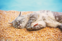 Cat Lying On The Beach And Hol...