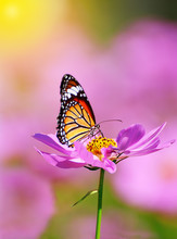 Close Up Of Butterfly On Pink Cosmos Flower With Pink Blurred Background