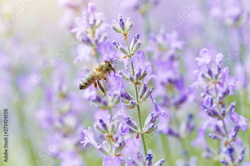 Valokuva  Bee on Lavender flower