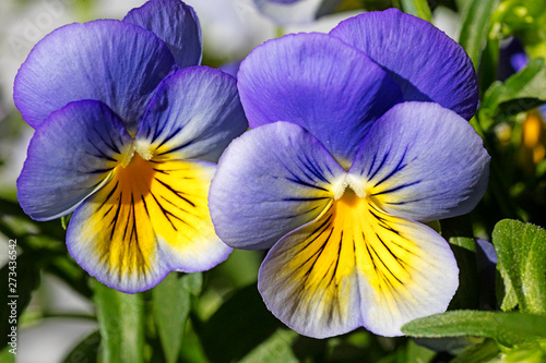Papiers peints Pansies Viola tricolor background fine art in high quality prints products