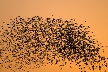 Large Flock Of Starlings Flyin...