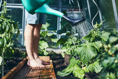 Obraz Gardener working in greenhouse - fototapety do salonu