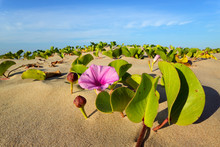 Beach Morning Glory (Ipomoea Pes-caprae) With Colorful Flower, South Africa.