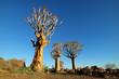 Leinwandbild Motiv Desert landscape with quiver trees (Aloe dichotoma) against a clear blue sky, Namibia.