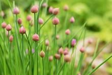 Allium Schoenoprasum Buds - W...