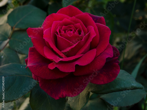 Red rose is with drops of dew