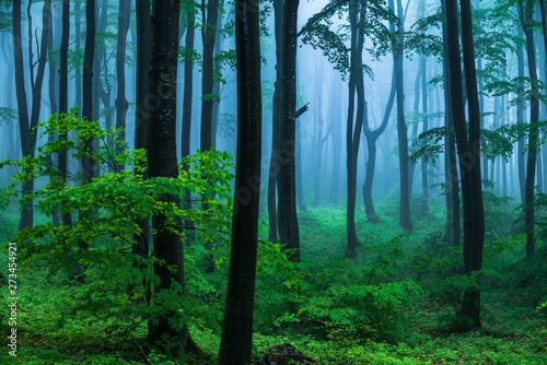 Foto auf Acrylglas Wald im Nebel Fairy tale misty looking woods in a rainy day. Cold foggy morning in horror forest