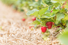 Ripe And Unripe Strawberries Hanging On Bushes On Plantation; Rows Of Strawberry Shrubs With Straw Between Them