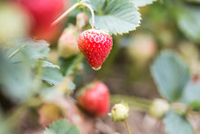 Ripe And Unripe Strawberries Hanging On Bushes On Plantation; Water Drop Hanging On A Red Berry.
