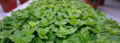 Fotografia yougplants, cuttings from chrysanthemum in a green house