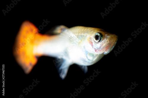 Tablou Canvas Little fish on a black background